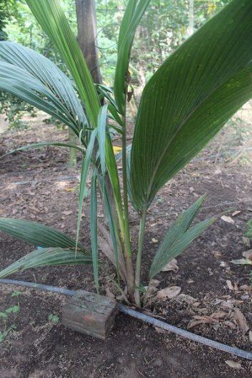 Irrigação de coqueiro no quintal agroflorestal com água de reuso.