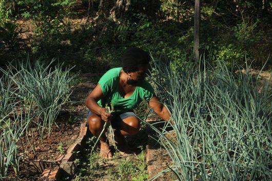 Dona Osmarina está agachada colhendo cebolinha, que está com cerca de 40cm